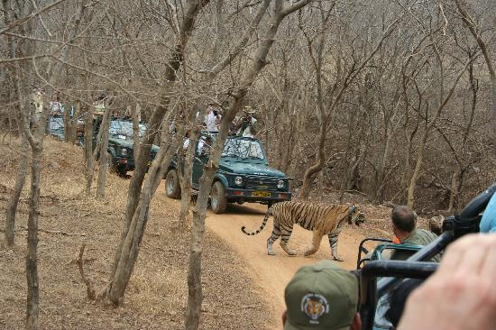 Royal Tiger in Ranthambore National Park