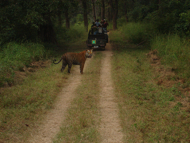 Royal Bengal Tiger, Kanha National Park