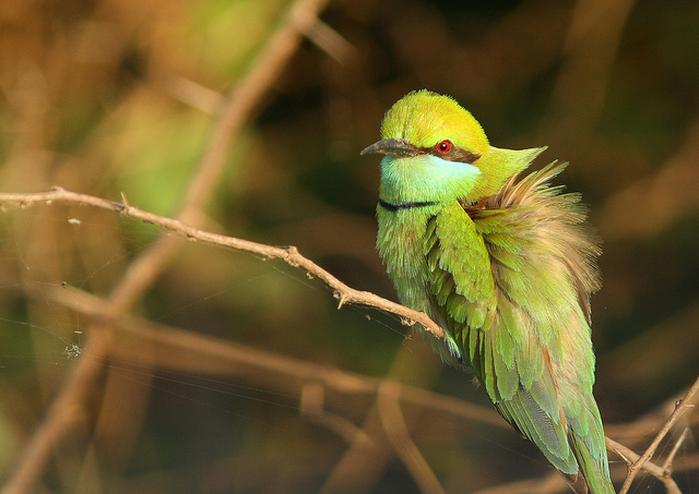 Small Green Bee-Eater, Khijadiya Bird Sanctuary, Jamnagar
