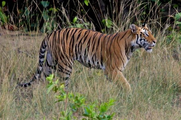 Tiger, Bandhavgarh National Park