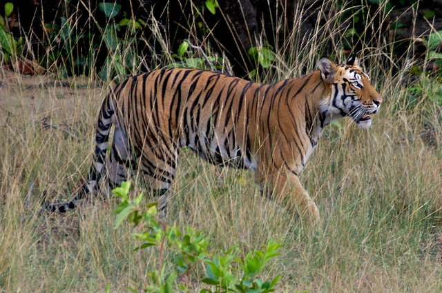 Tiger, Bandhavgarh National Park
