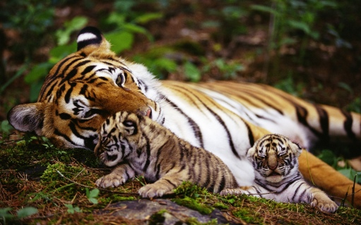 Tigress and Cubs In Rest