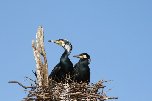 Cormorants In Periyar Image By Flickr