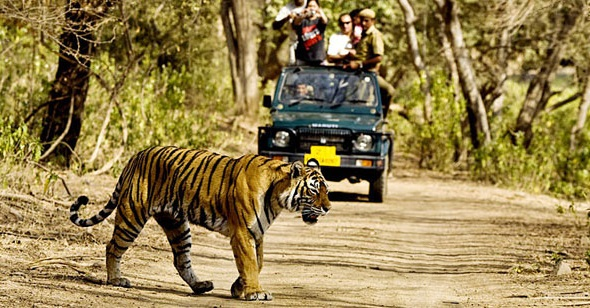 tiger-sariska-national-park