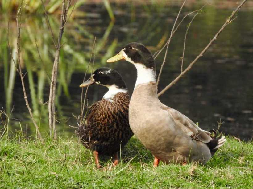 Geese - Bharatpur Bird Sanctuary
