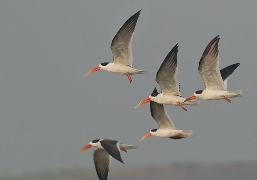 Indian Skimmer - Chambal Sanctuary