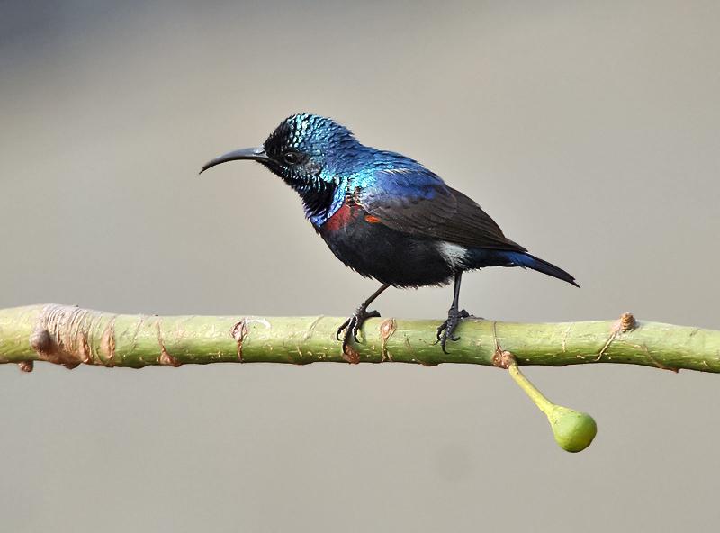 Purple Sunbird - Corbett National Park