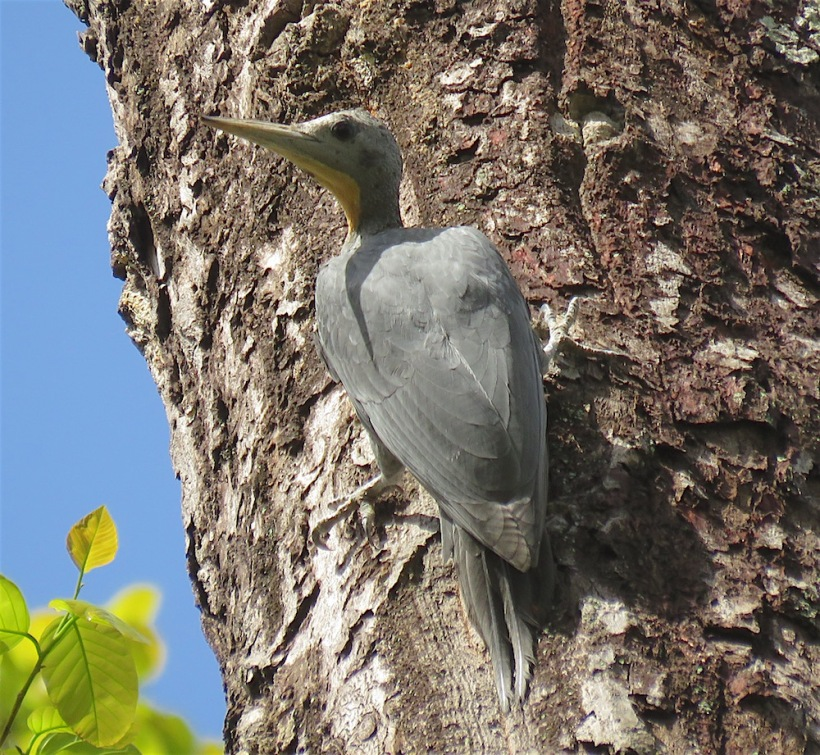 Slaty Woodpecker - Kumeria